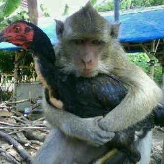 Lucu Lucu Monyet Vs Ayam