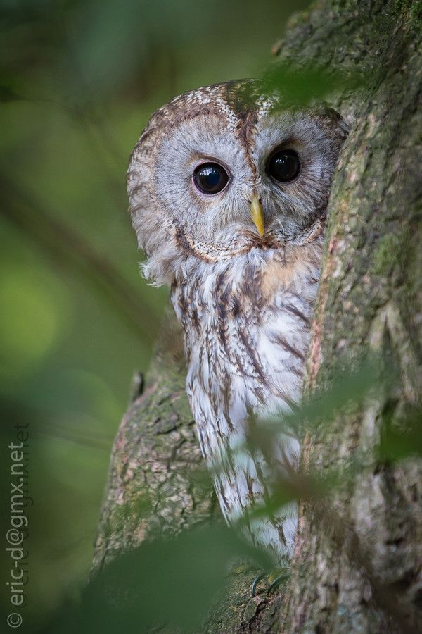 Tawny owl Strix aluco in a tree hole - by Eric D