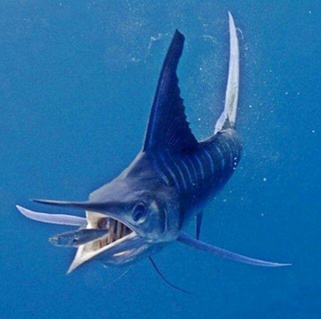 White Marlin | SaltWater Fishing | Marlin fishing, Sea ...