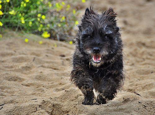 Cairn Terrier Cairn Terriers Cairn Terriers Cairn Terrier