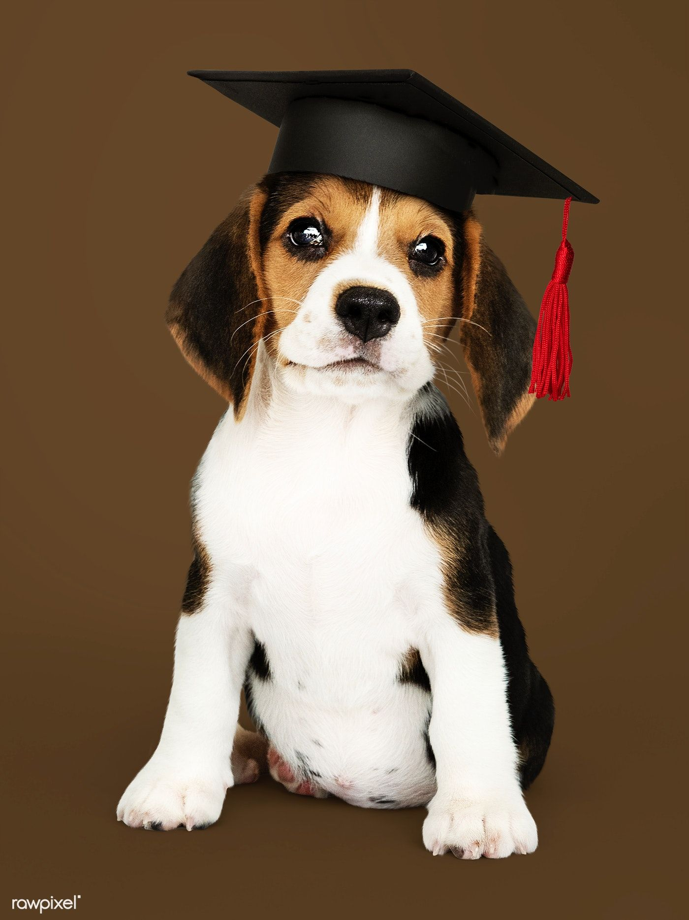 Download Premium Image Of Cute Beagle Puppy In A Graduation Cap