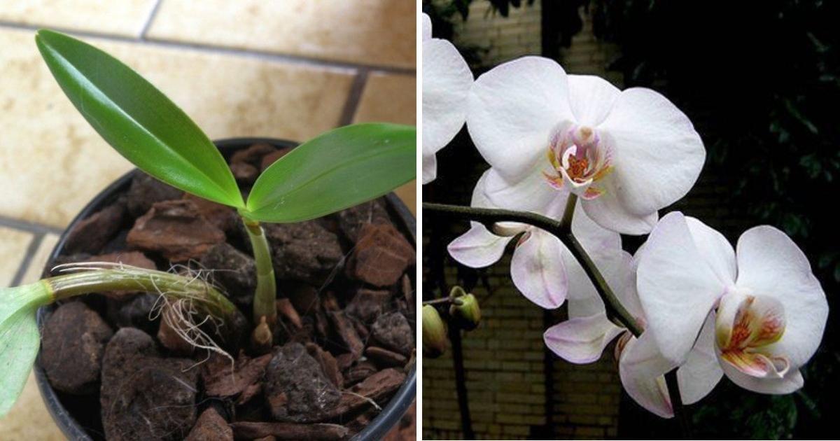 comment faire refleurir une orchid e apr s 1 an avec un. Black Bedroom Furniture Sets. Home Design Ideas