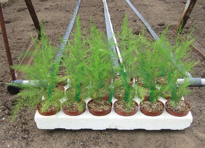 Asparagus Seedlings Asparagus Plant Growing Asparagus 400 x 300