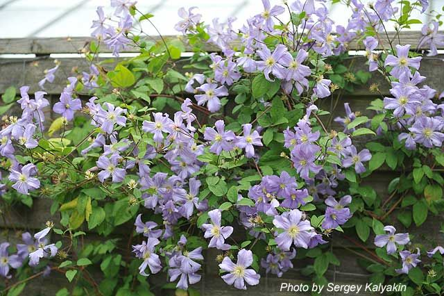 Clematis viticella Prince Charles (1).JPG