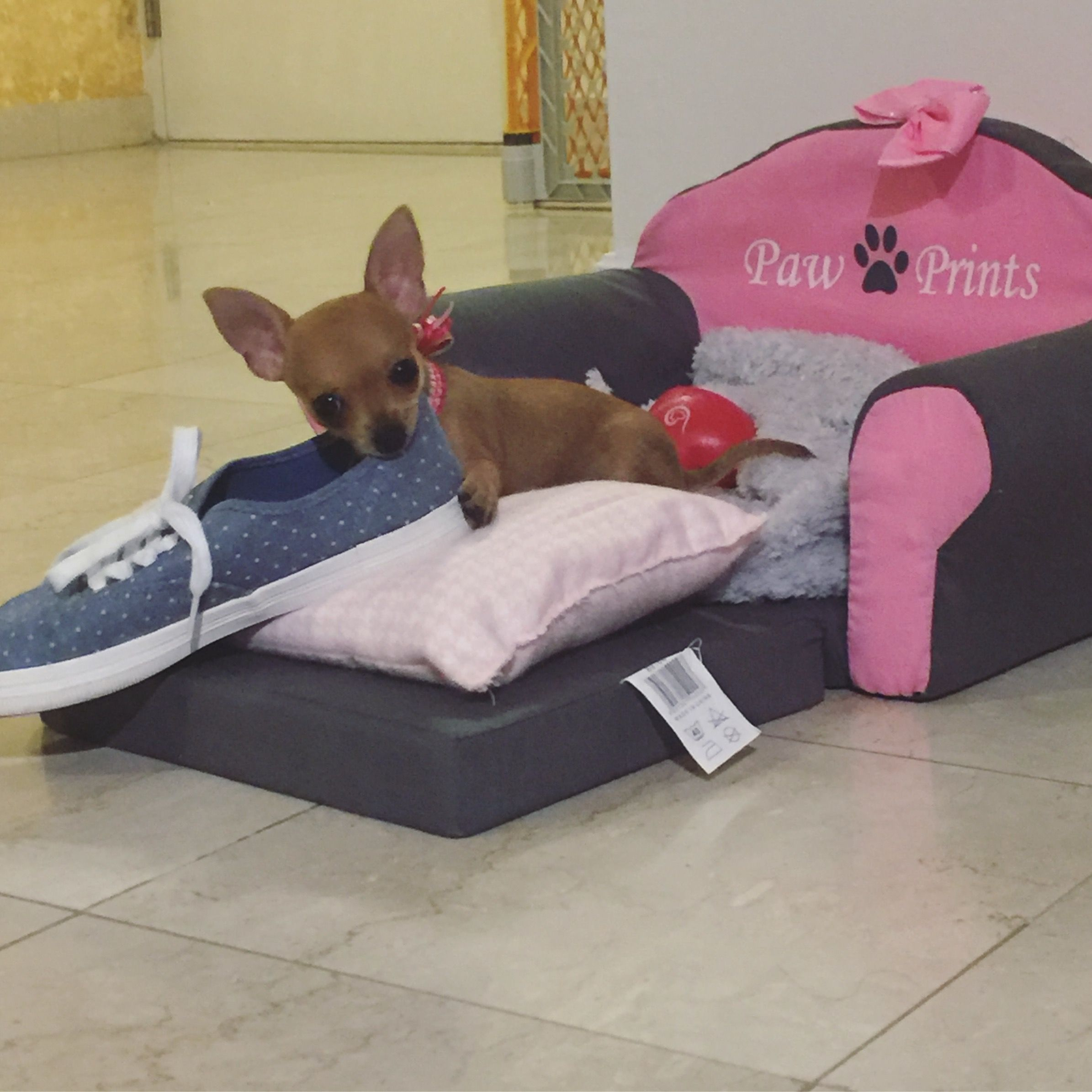 Chihuahua puppy playing with shoes. Chihuahua bed