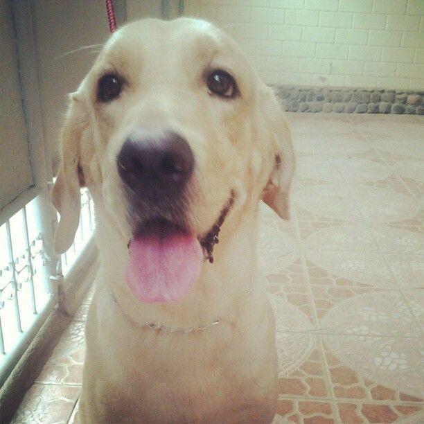 Hachie Labrador Pawshake Dogs Labrador Labrador Retriever