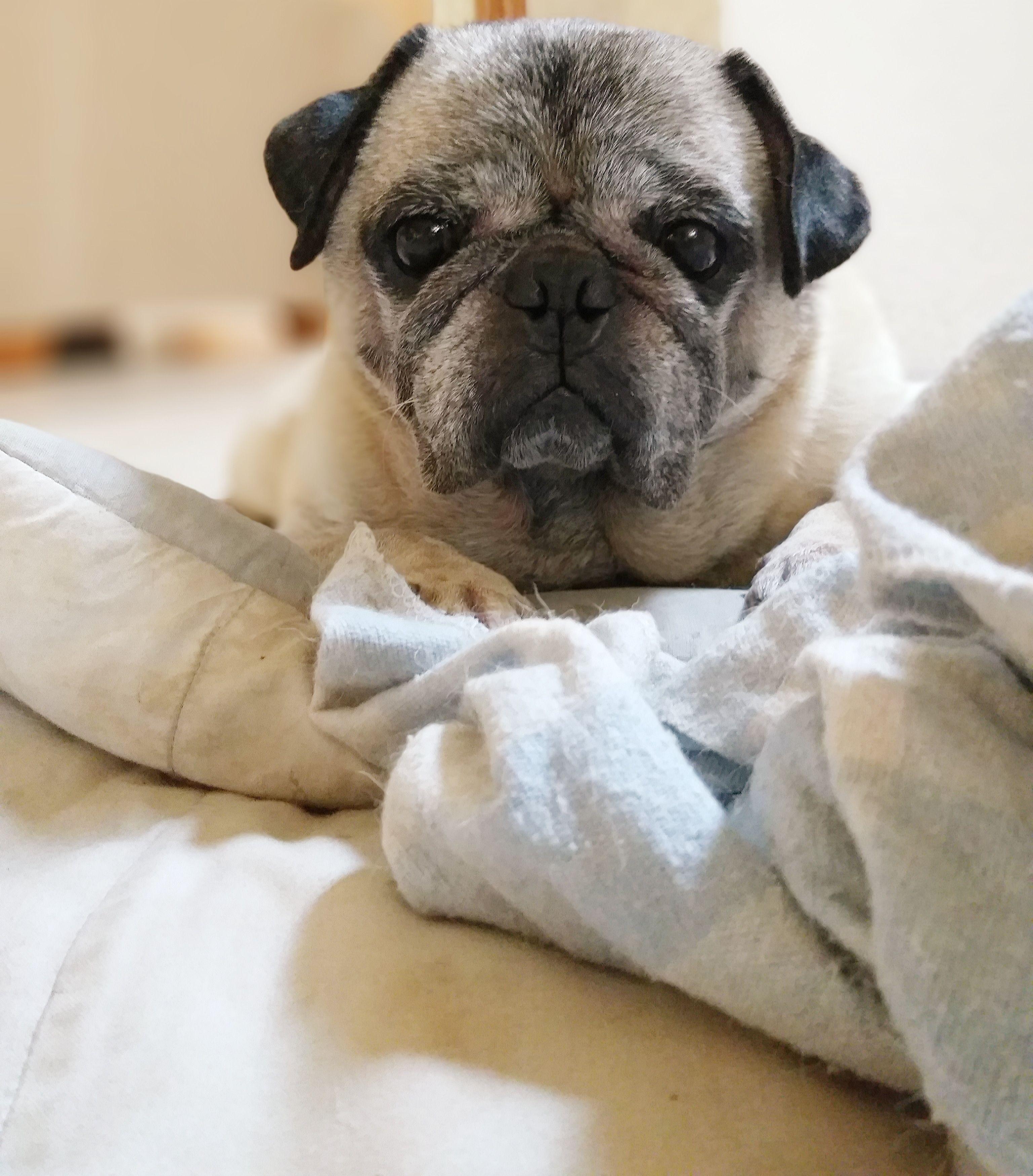 Pin By Mandy Joy On Pug Cute Dogs Cute Pugs Cute Animals