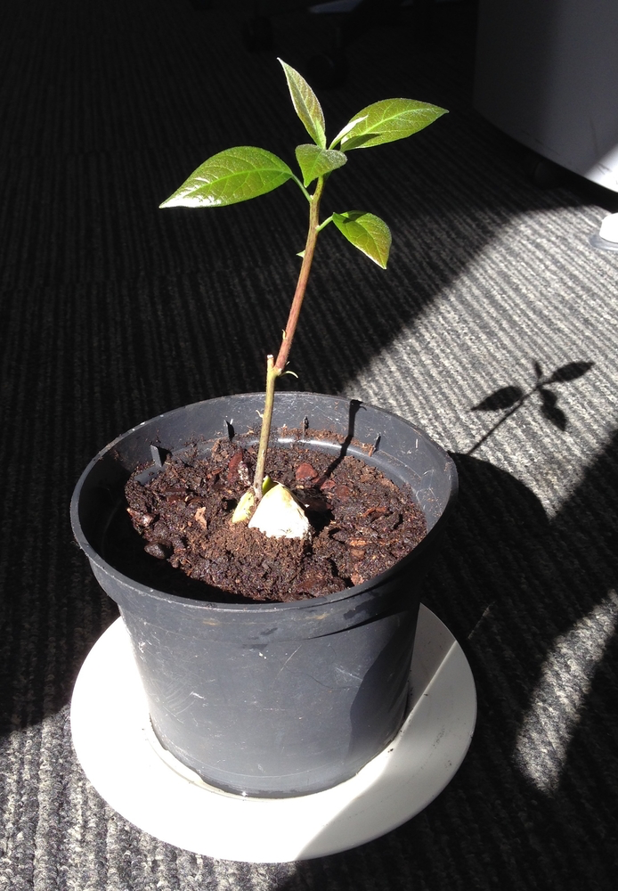 planter un nenuphar en bac - Materiel de bassins