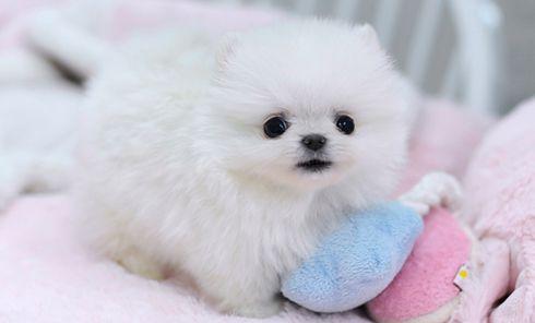 Teacup Pomeranian Puppy Pomchi Puppies Pomeranian Puppy Teacup
