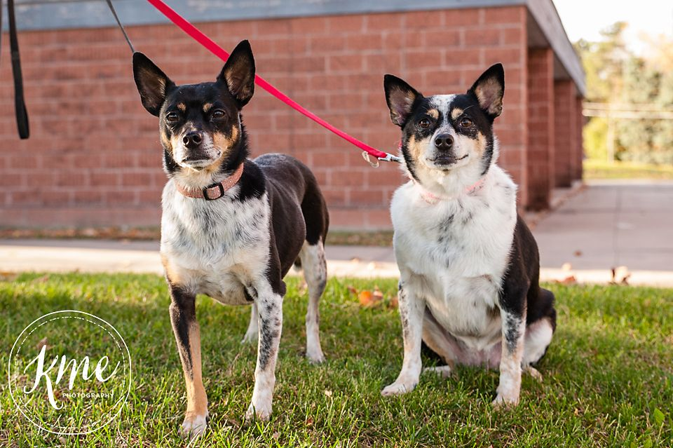 Rat Terrier dog for Adoption in Rochester, MN. ADN557520