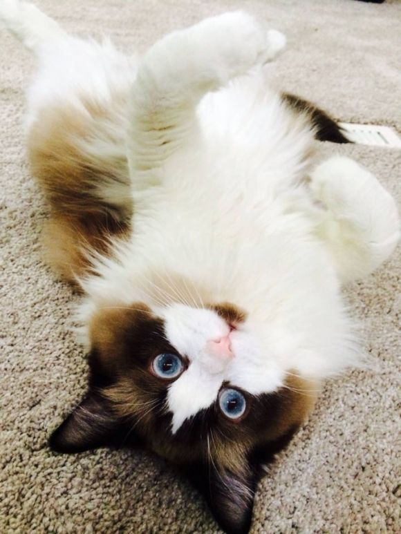 She Likes To Play Belly Up Fancy Cats