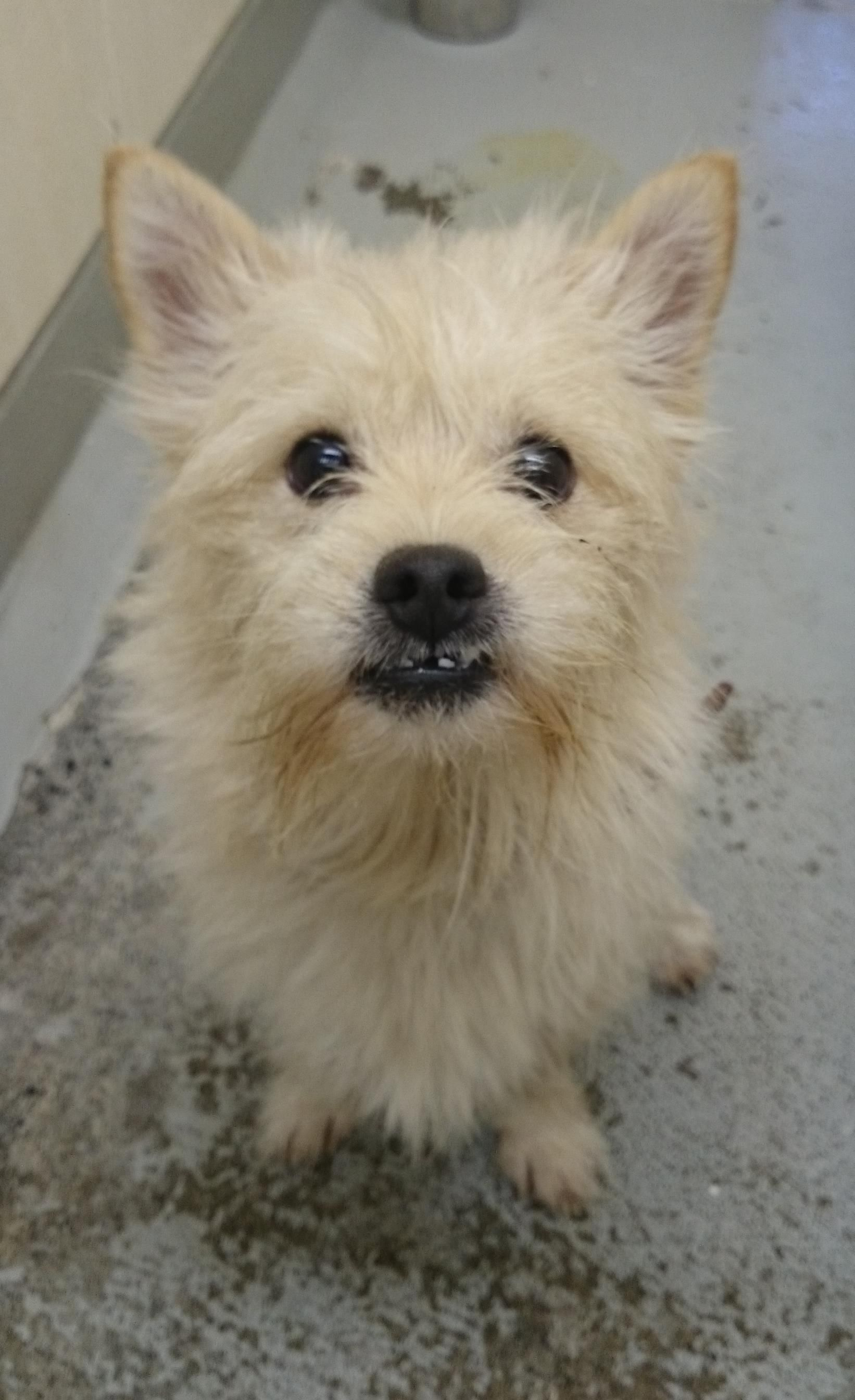 Cubby Norwich Terrier Cross Wirehaired Jack Russell From Bc Spca