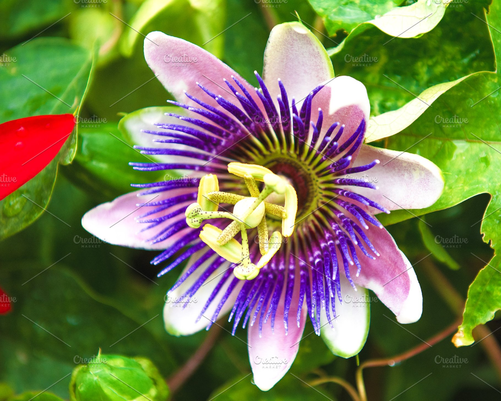 Passion Fruit Flower In The Tropics In 2020 Passion Fruit Flower Beautiful Flowers Garden Flower Pictures