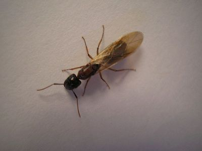 Flying Ants Often Mistaken For Winged Termites Are Harmless But Not Knowing The Difference Can Cost You Handsomely Flying Ants Ants With Wings Ants