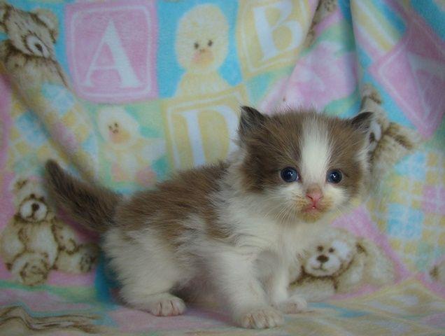 Baby Kittens For Free Ragdoll Cats Ragdoll Kittens For