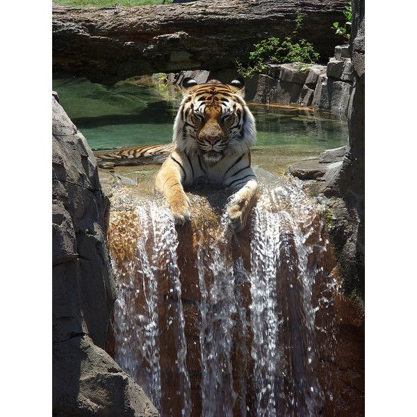 Tigers and Company ❤ liked on Polyvore featuring animals, backgrounds, tigers and pictures