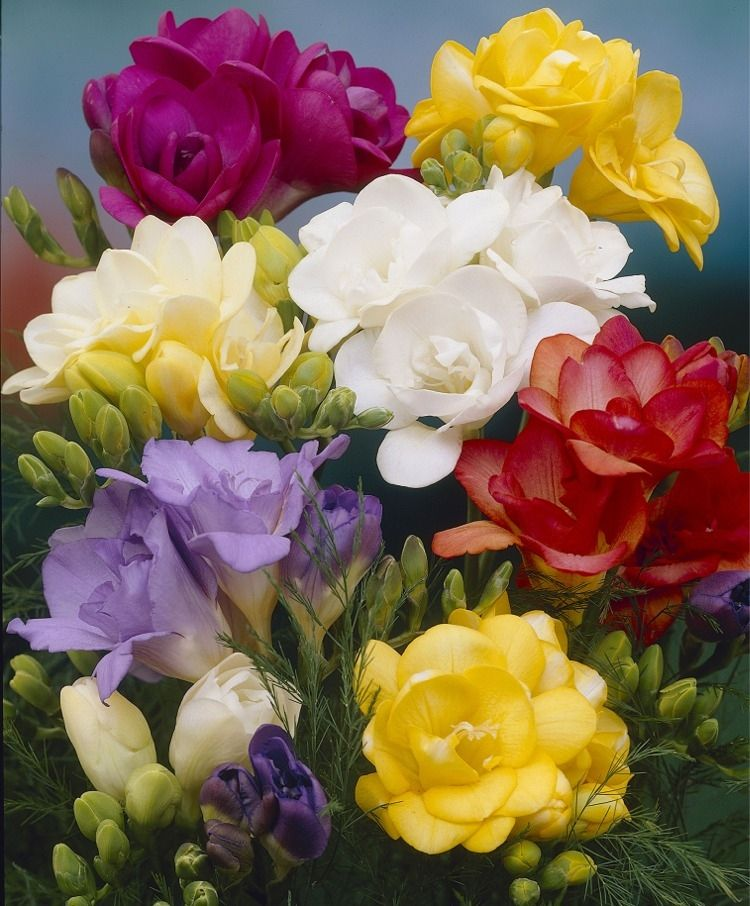 Double Freesia Mixture Freesias Indoor Bulbs Fall 2015 Flower Bulbs Schone Blumen Beste Blumen Blumenzwiebeln Pflanzen