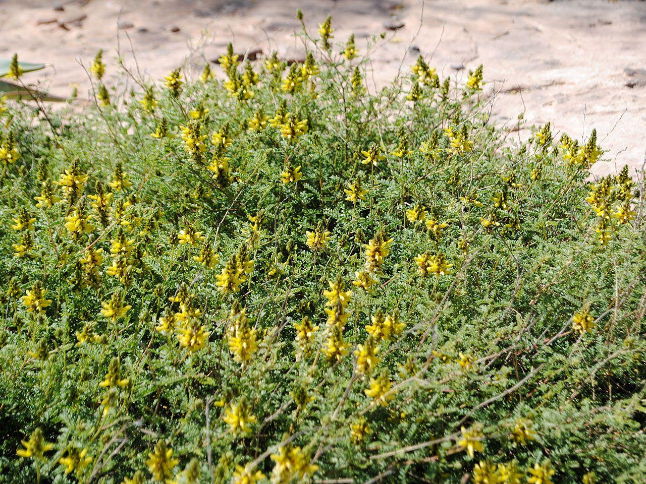 Dalea Capitata Sierra Gold Sonoran Desert Low Growing