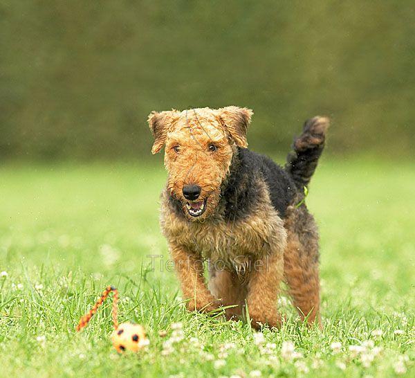 Airedale Terrier I Got Ya Tierfotograf Terrier Schutzhunde