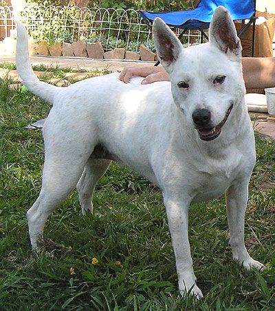Bull terrier puppy qld