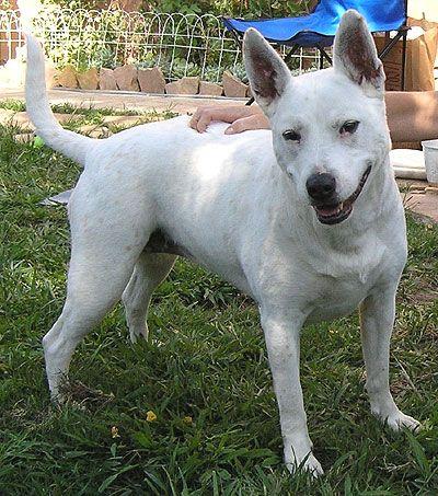 Bull Terrier Queensland Heeler Mixed Breed Dog Online Dog Encyclopedia Bull Terrier Mixed Breed Dogs Australian Cattle Dog Mix