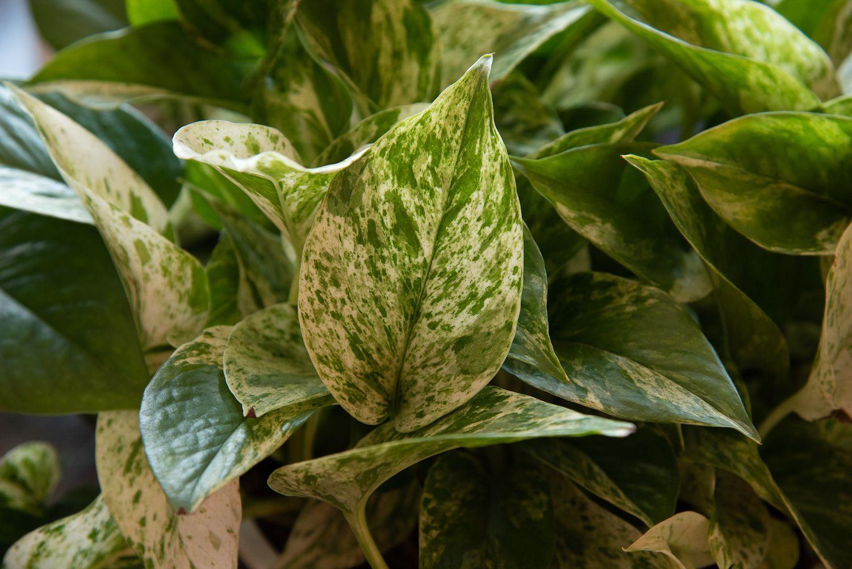 How To Grow Pothos Pothos Plant Plants Jade Plants