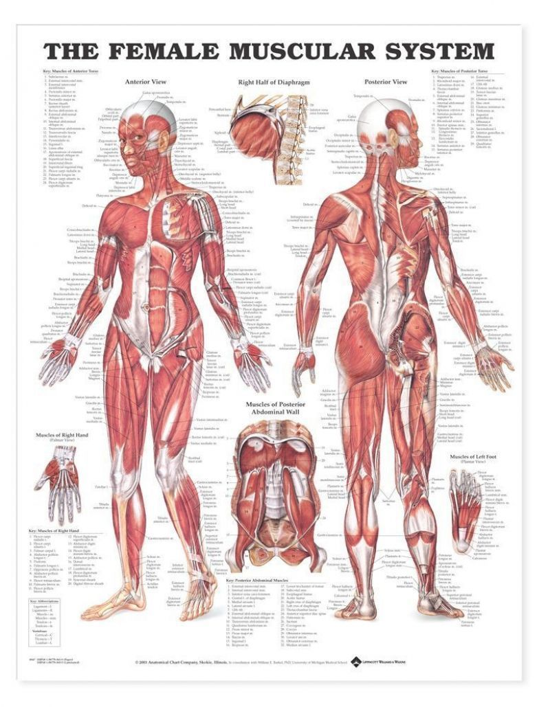 Anatomy Chart Female Muscular System At Muscles Female Muscle System