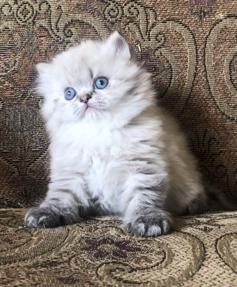 Persian Cats Sale Los Angeles Persian Kittens Teacup Persian Kittens Persian Cat Doll Face