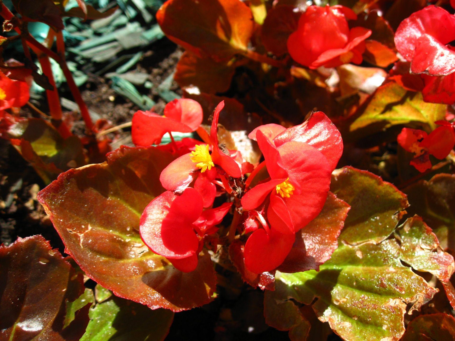 Цветы бегонии на клумбе   Бегония, Цветы и Клумбы