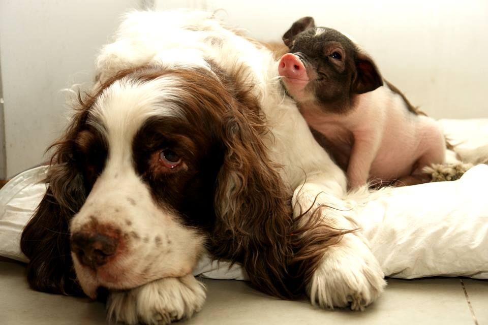 Personne ne porte mieux le message que ce porcelet radieux:  Tous les animaux tiennent à la vie.  Passons le mot! https://www.facebook.com/celine.marcoz.3/posts/1633951563550302