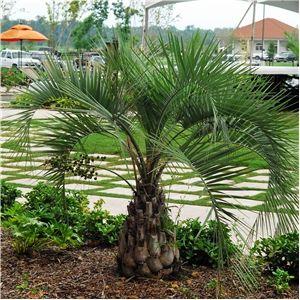 Butia Capitata Pindo Palm Palm Trees Landscaping Florida Plants Trees To Plant