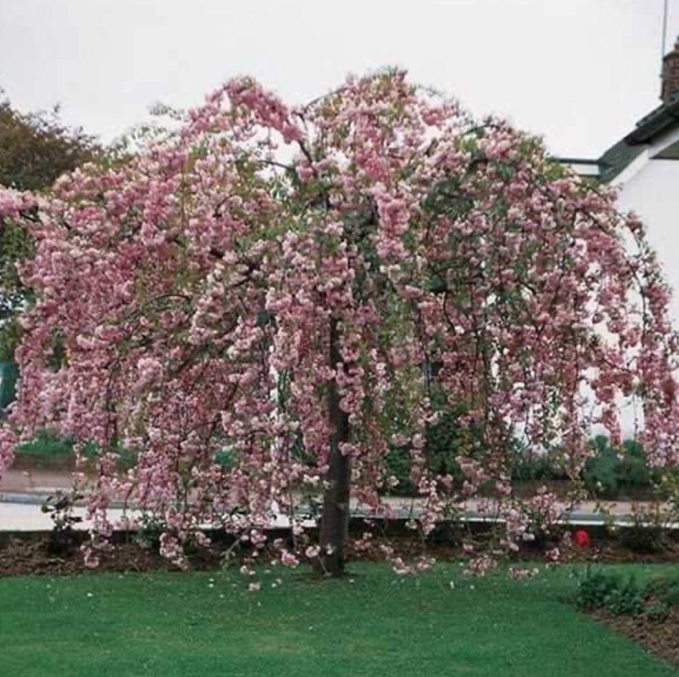 Prunus Kiku Shidare Sakura Weeping Cherry Tree Flowering Cherry Tree Weeping Trees