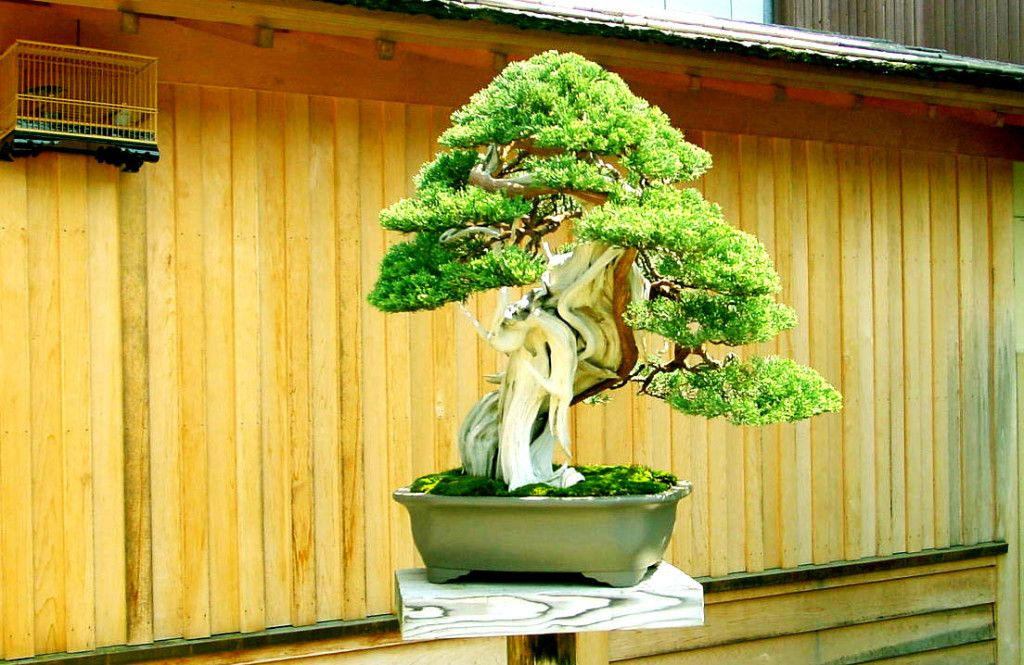 Do you want to grow a bonsai we tell you everything you