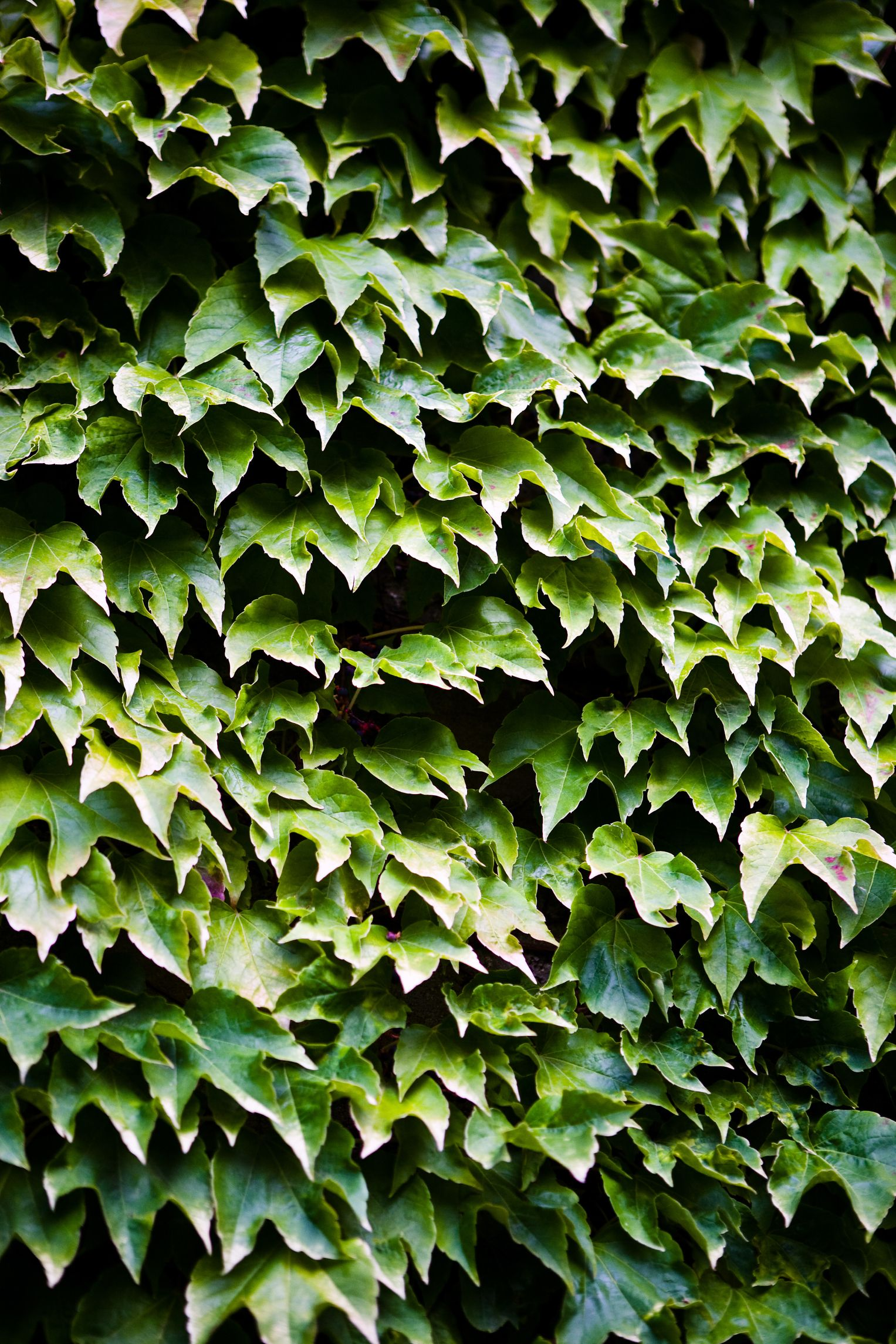 How To Clear Overgrown Ivy In The Yard Ivy Plants Evergreen Vines Garden Vines