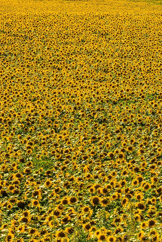 sunflower fields, grant (near the colorado state line), near