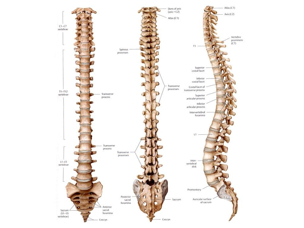 The Spine Anatomy In 2018 Pinterest Anatomy Bones And Human Spine