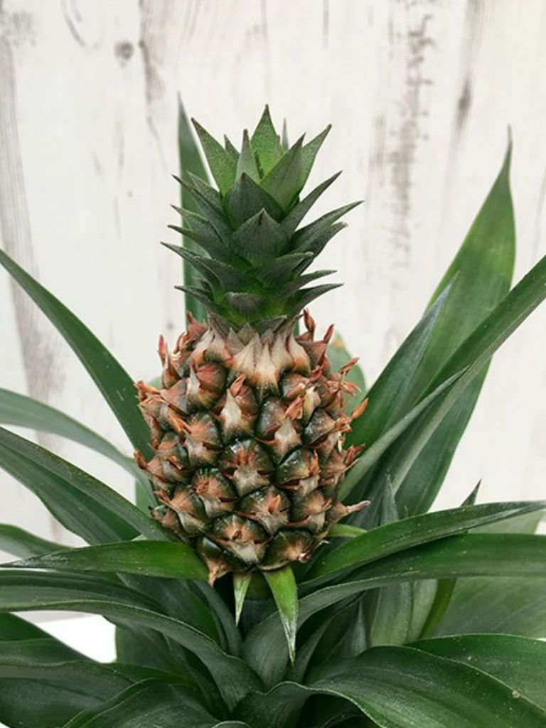 Ananas comosus 'Champaca' (Ornamental Pineapple) World