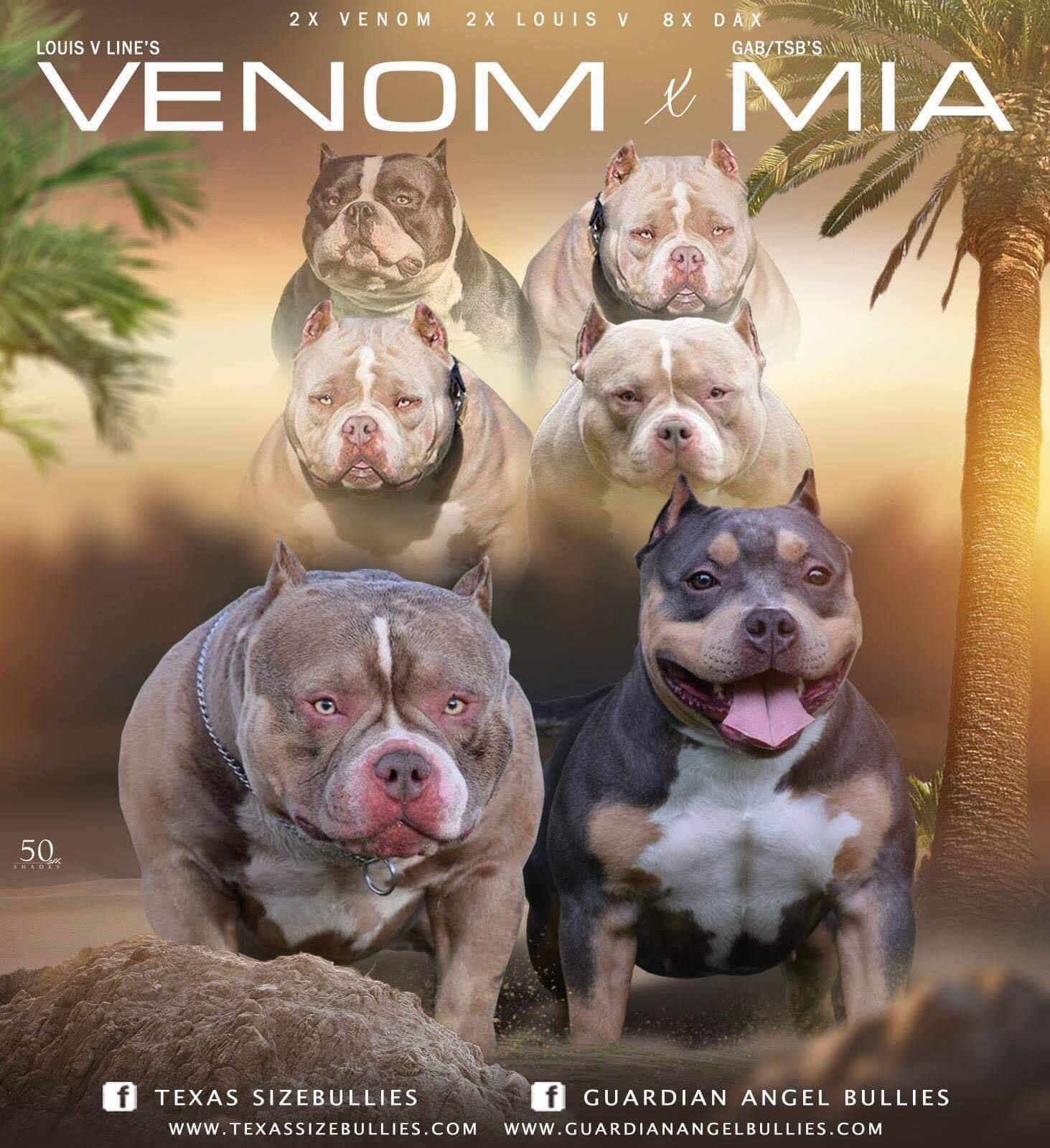Best Upcoming Pocket Bully Breedings American Bully Pocket