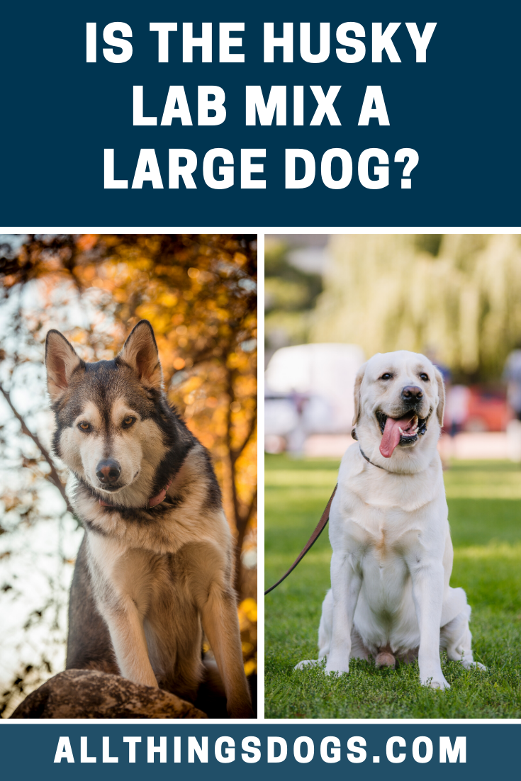 Labradors And Huskies Are Of Similar Sizes So Your Labsky Will Be