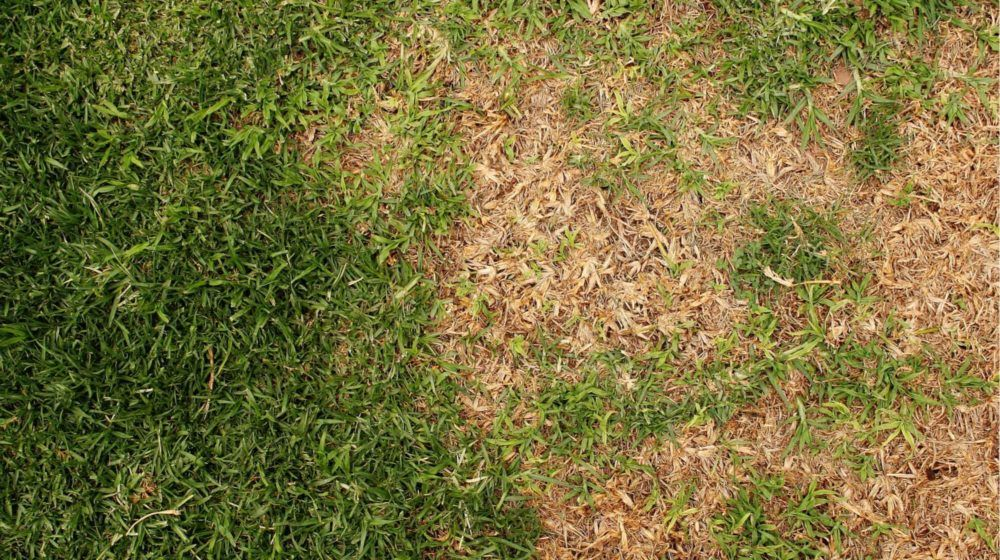 How to fix a patchy lawn grass care st augustine grass