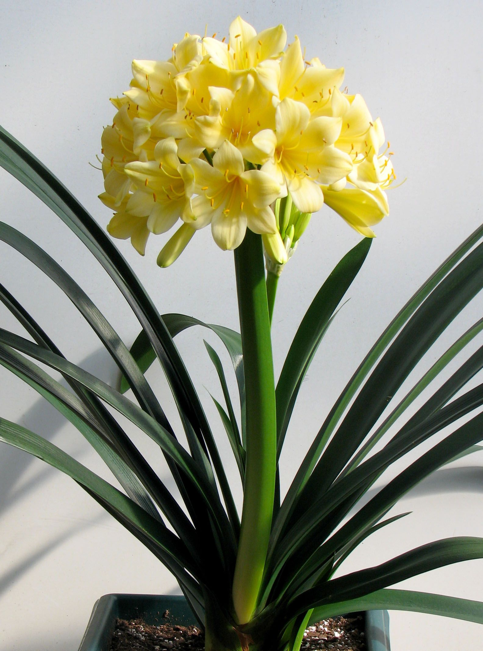 Clivia miniata Longwood Fireworks Oh Id love to have a yellow