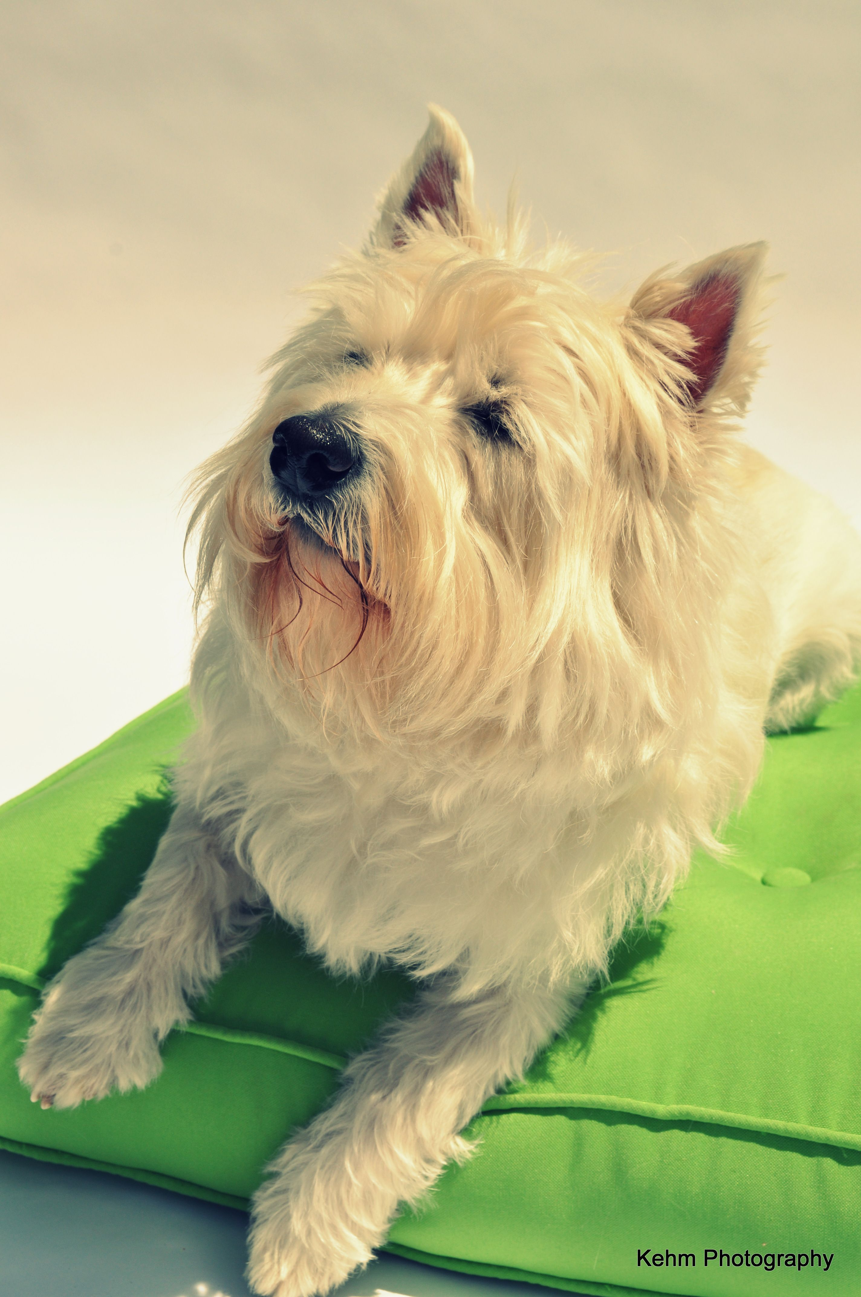 West Highland Terrier Westie With Images Pets West Highland Terrier Westies