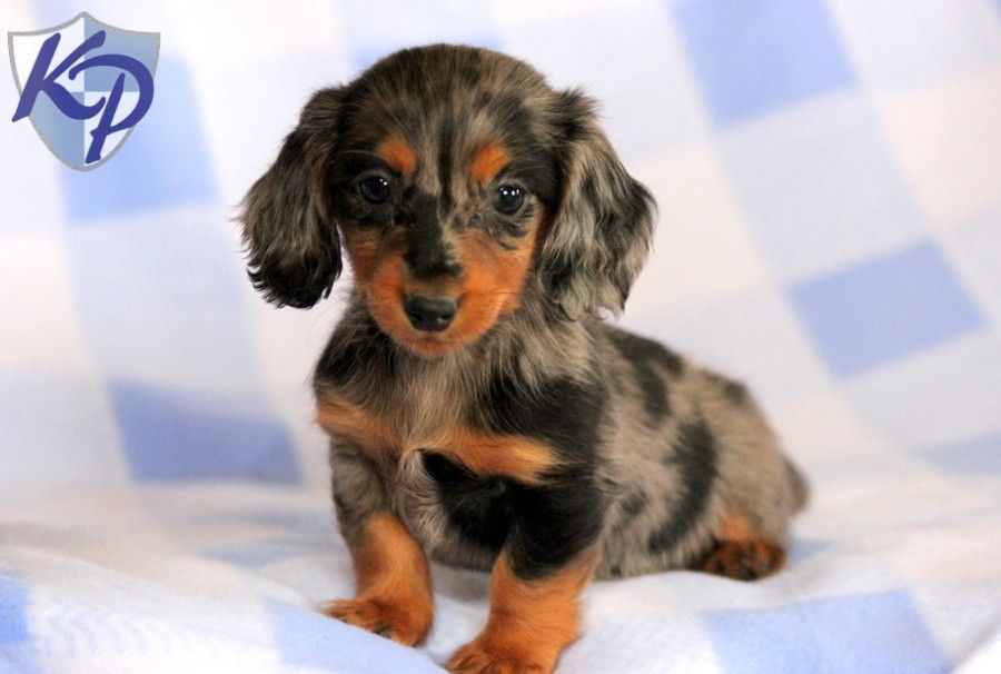 Princess Dachshund Miniature Puppies for Sale in PA