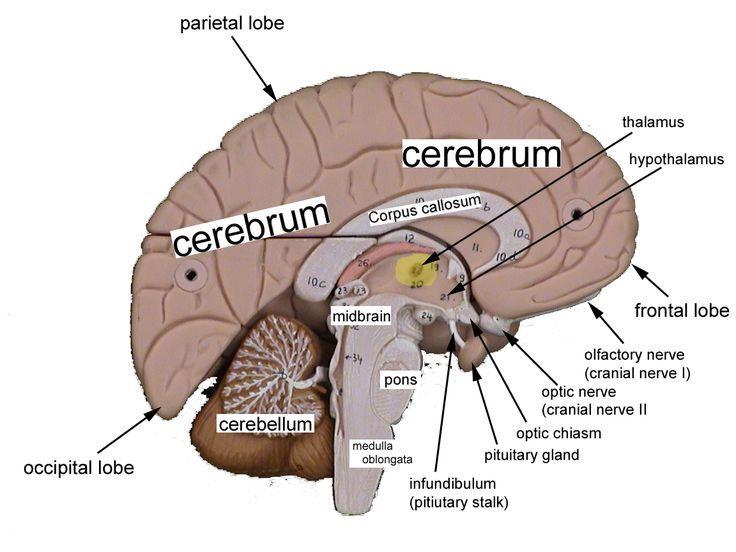 Image Result For Labeled Brain Model Bio Pinterest Brain