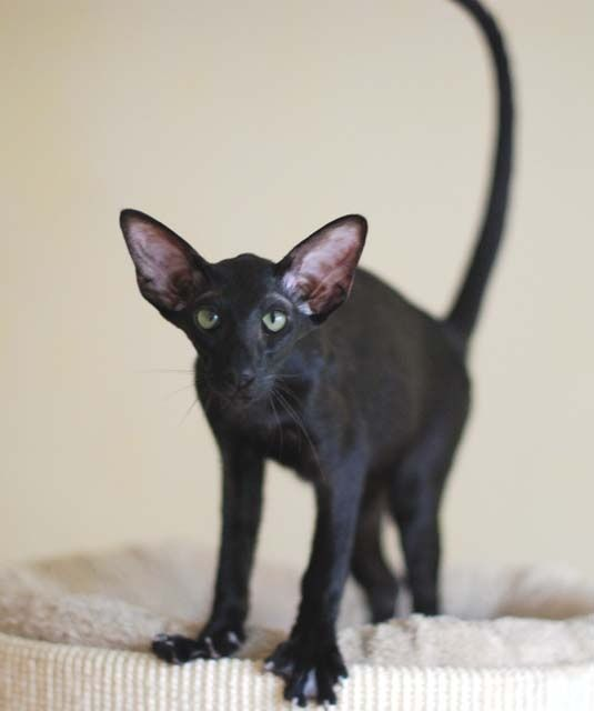 Bald Kitty, Dogs And Cats, Cats Oriental, Black Cats ...