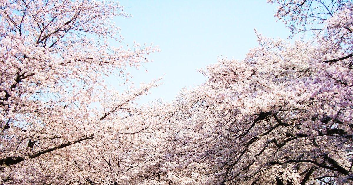 Paling Keren 30 Gambar Pemandangan Indah Bunga Sakura Taman Sakura Di Sana Sudah Ada Sejak Abad Ke Delapan Belas Dan Mas Taman Alami Pemandangan Gambar Bunga