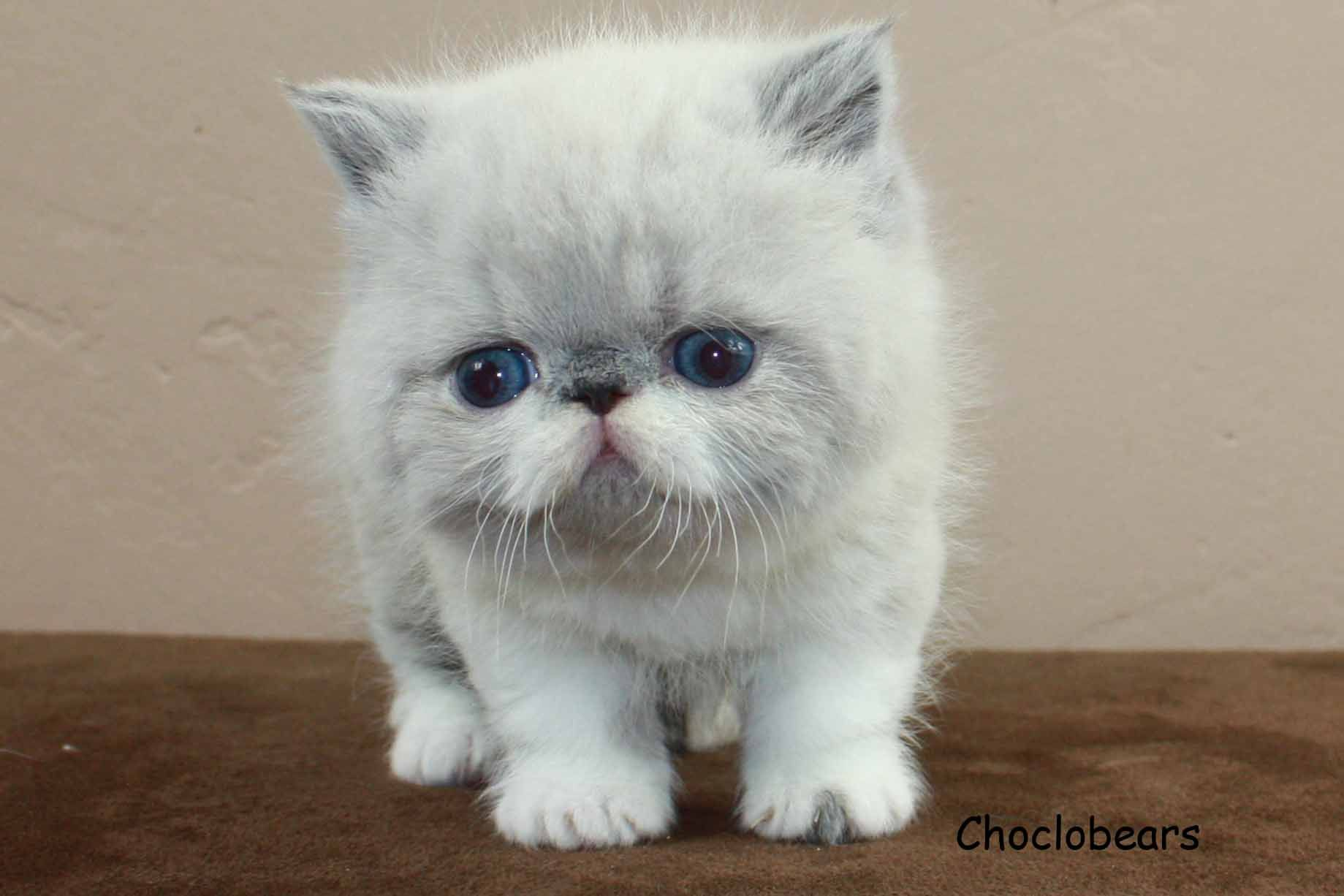 Choclobears Cattery Blue Point and White Exotic Shorthair