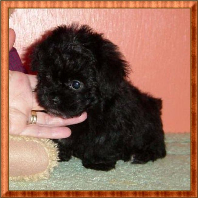 Black Poodle Puppy Poodle Puppy Teacup Poodle Puppies Toy