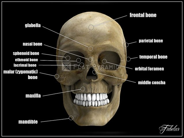 Realistic Human Skull 3D model. Rendered with standard materials + ...