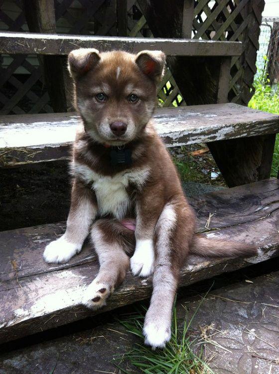 Labrador Retriever Puppy For Sale In Carrollton Ga Adn 30533 On